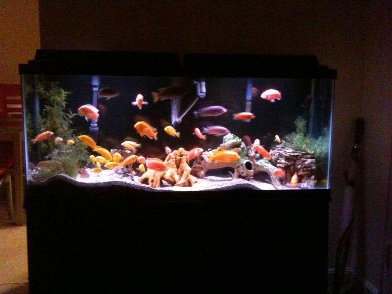 55 gallon cichlid tank setup related keywords 55 gallon for 55 gallon fish tank setup