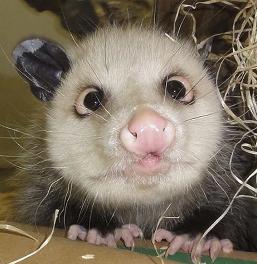 Heidi The Cross Eyed Opossum