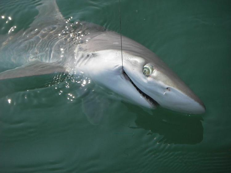 Myrtle beach sharks quotes for Shark fishing myrtle beach